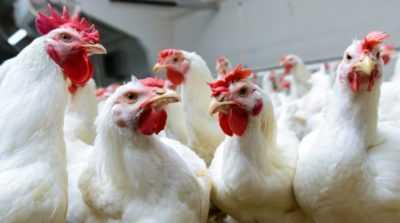 Perché i polli da carne potrebbero non crescere