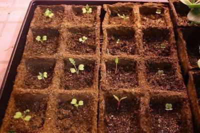 Piantine di pomodoro in crescita secondo il metodo di Yulia Minyaeva