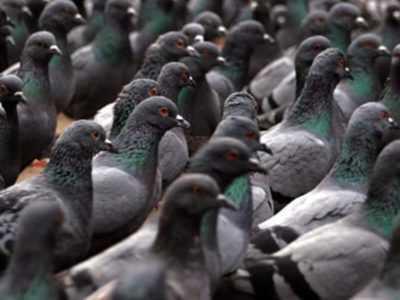 Quali malattie possono trasportare i piccioni?