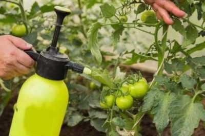 Regole per spruzzare i pomodori