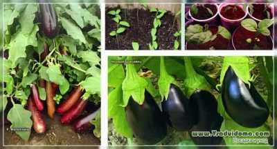 Varietà di melanzane per gli Urali