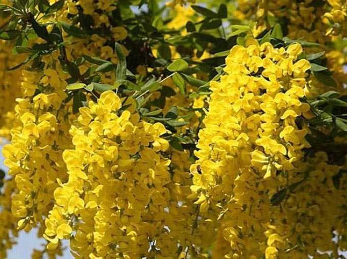 Bobovnik (maggiociondolo) come pianta di miele