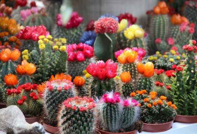 20 cactus e piante grasse da interni con fioriture straordinariamente belle – Cura