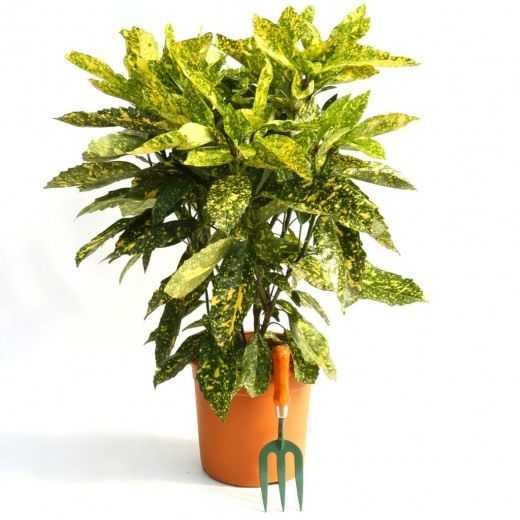 Aucuba – albero d'oro – cura