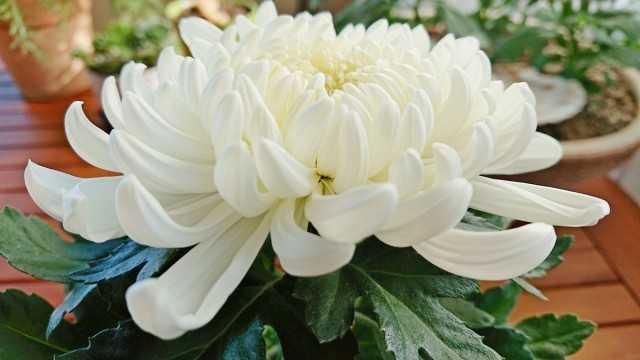 Come conservare i crisantemi in vaso fino alla primavera? – Bellissime piante da interno