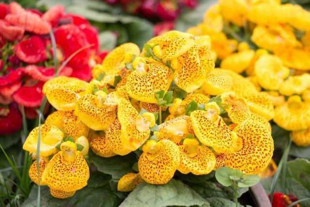 Come godersi la fioritura della calceolaria ogni anno?