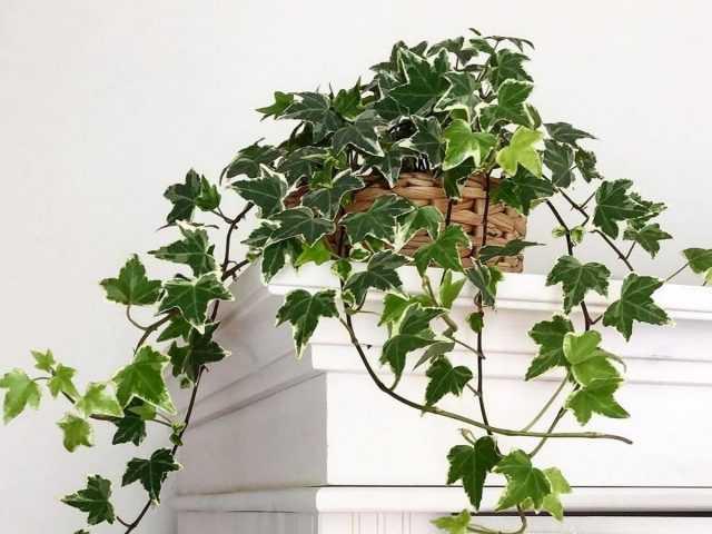 Edera indoor – un classico giardinaggio verticale dei locali – Care