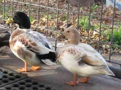 סוגים פופולריים של ברווזים