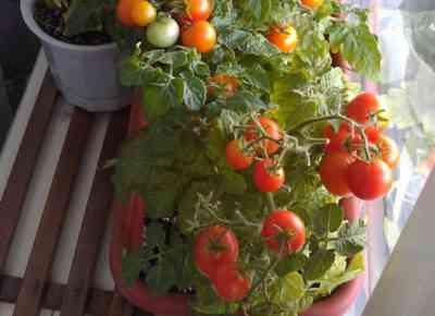 עגבניות לשתילים בפרברים