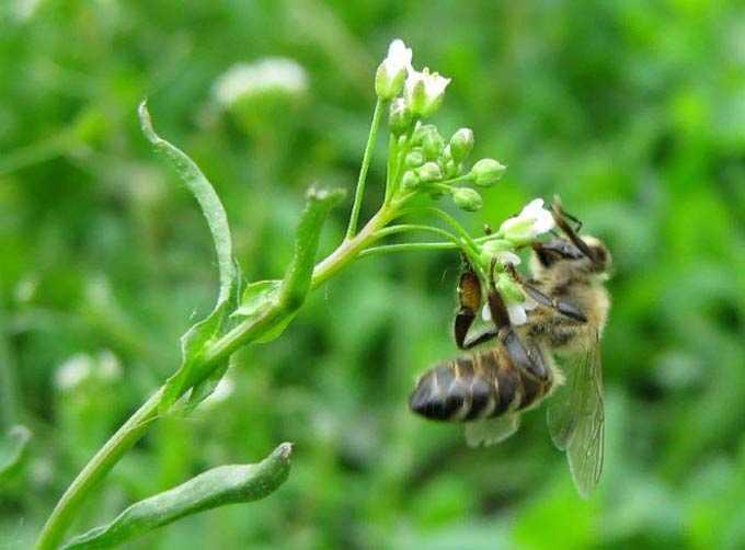 ערך ארנק הרועים כצמח דבש