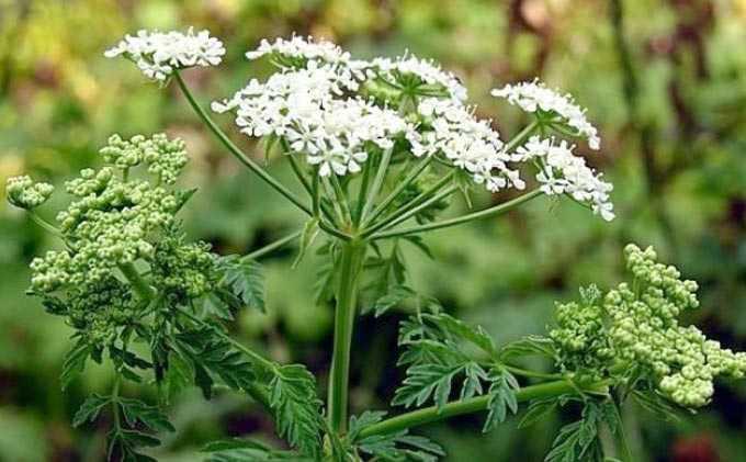 צמחים מלאים רעילים