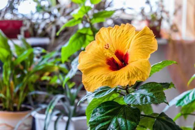 היביסקוס מקורה, או ורד סיני – פריחה צבעונית וטיפול קל