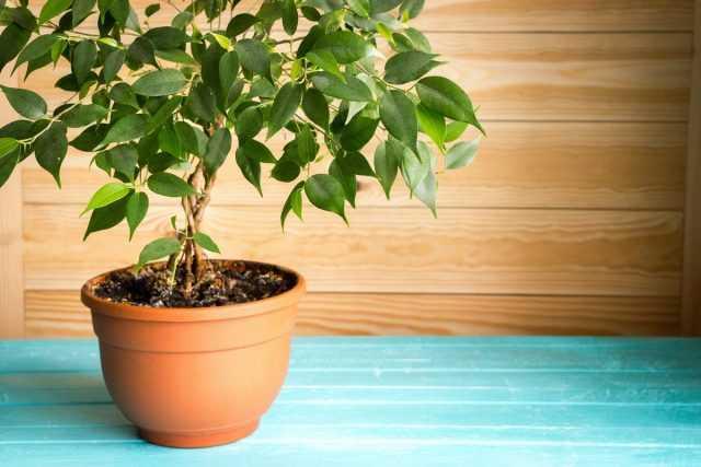 מדוע העלים של פיקוס בנימין נופלים? לְטַפֵּל