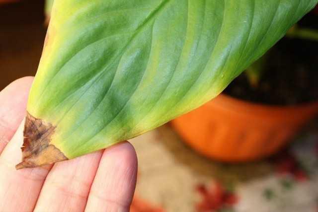 מדוע קצות העלים של צמחי הבית מתייבשים?