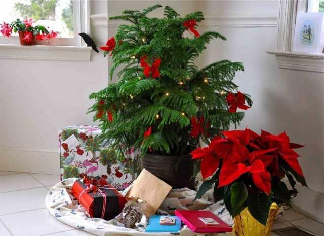 עץ חג המולד חי – ארוקריה טעימה – טיפול
