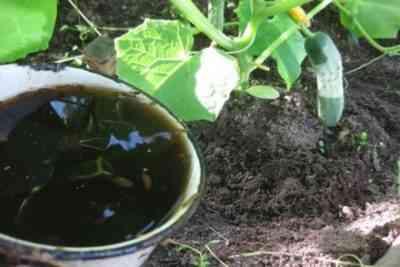 良い成長のためにキュウリの茂みに供給する方法