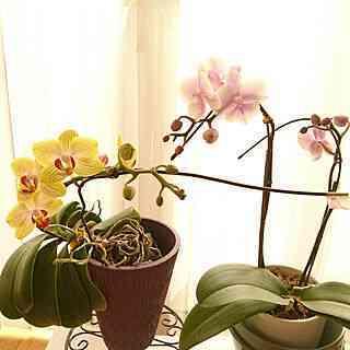 在宅胡蝶蘭の繁殖
