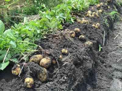 種からジャガイモを育てる方法