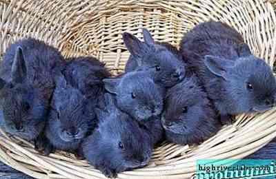 ウィーンのウサギの特徴