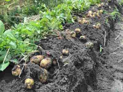 ジャガイモの収穫日と方法