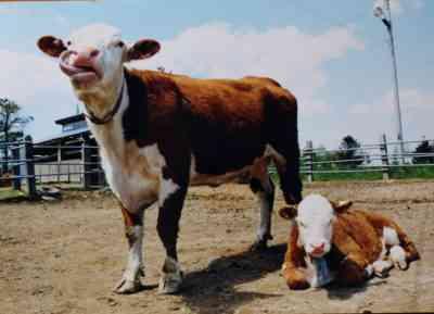 ヘレフォード牛の品種