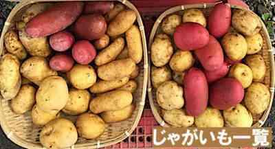 ジャガイモ品種メロディの説明