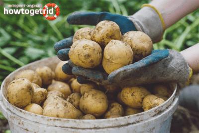 良いジャガイモ作物を得る方法