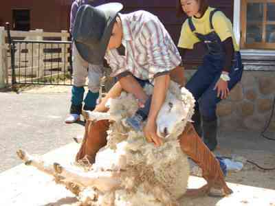 いつ羊が羊の毛を刈るのか
