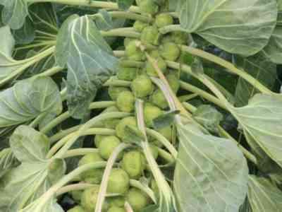 ゾロッカジャガイモの特徴
