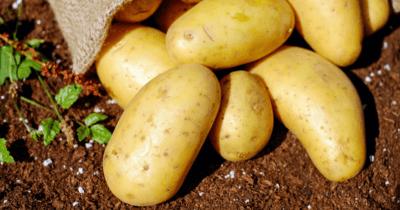 ジャガイモの防虫方法