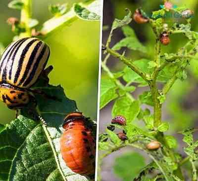 コロラドハムシからジャガイモのタールを処理する方法