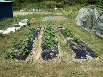 シベリアでキャベツの苗を植える
