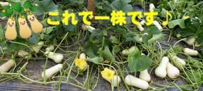 かぼちゃバター栽培