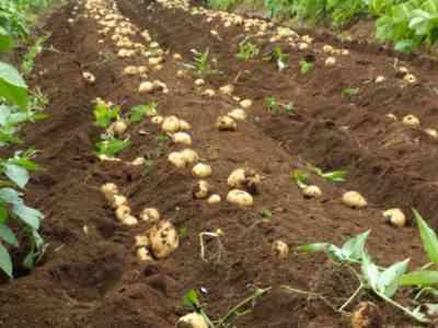 中国のジャガイモ栽培技術