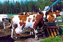 エアシャー種の牛