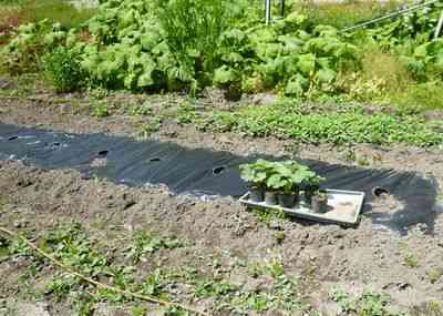 いつ、どのようにカボチャの苗を植えるか