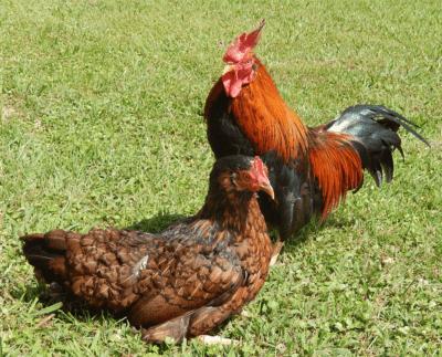 生きている鶏の品種の特徴