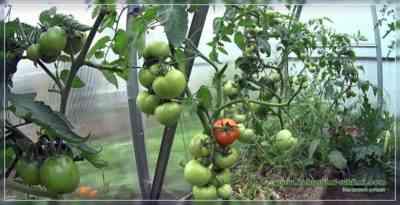 温室でトマトを剪定するためのルール