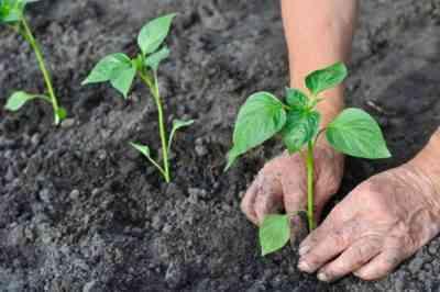 ピーマンを温室に植えるときの距離