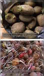 冬のセラーにジャガイモを保管するためのルール