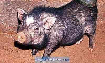 豚の疥癬の症状と治療
