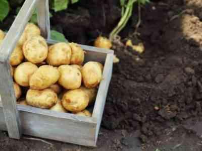 ジャガイモを栽培するためのMotoblock Neva