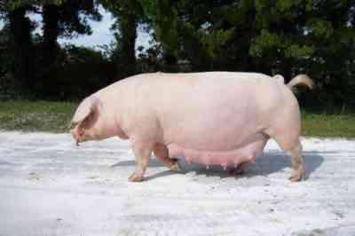 豚の特徴は大きな白を繁殖させる