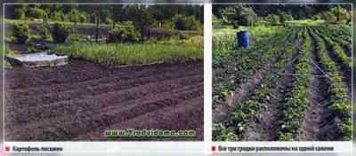 バレルでジャガイモを栽培する原理