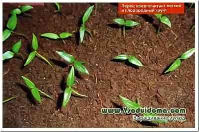 コショウの苗に灰を与える