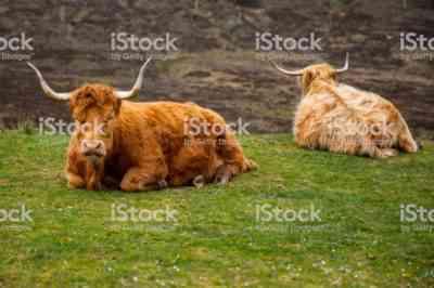 ハイランド牛、またはスコットランド高地
