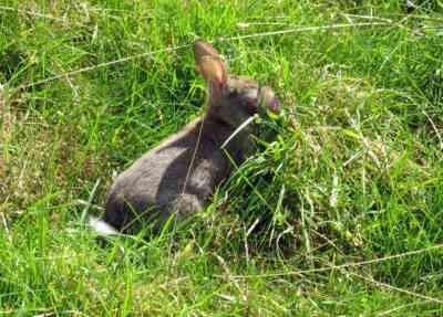 ウサギの粘液腫症に対処する方法
