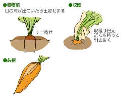家庭でニンジンの種を手に入れる方法