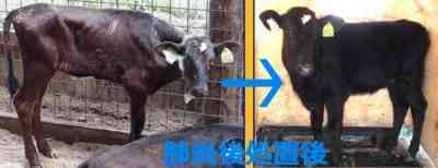 子牛の気管支肺炎