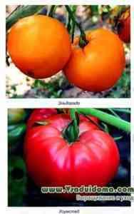 1つの茂みのトマト生産性指標